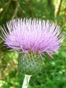 Thistle by any other name ...