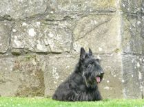 A little scottie sitting still, for once