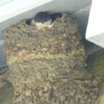 House Martins wondering whether to fledge or not