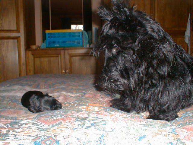 Izzy with 7 day old Kelpie, 1999