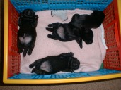 4 sllightly older puppies