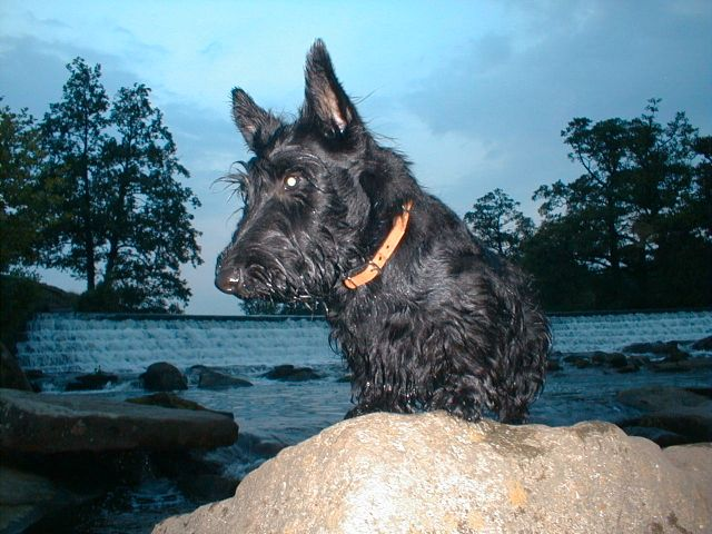 Bobby on the river derwent