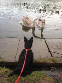 Squabbling Swans