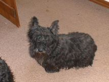 Agi, Mama's first scottie, 1999