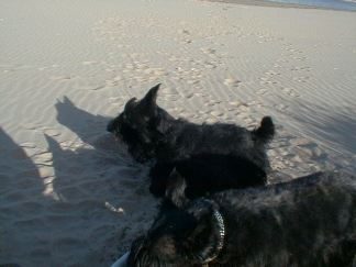 Kelpies first trip to the beach 1999