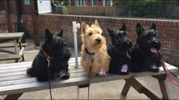 Quartet of Scotties